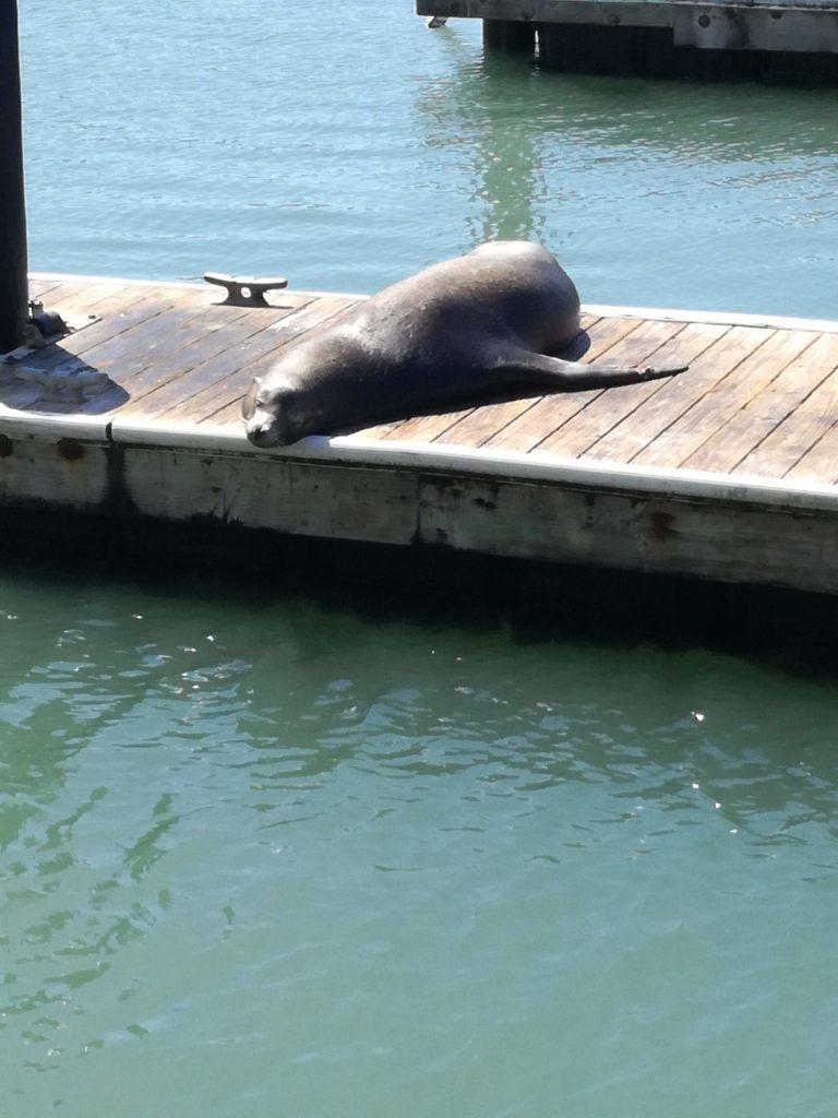 Les lions de mer
