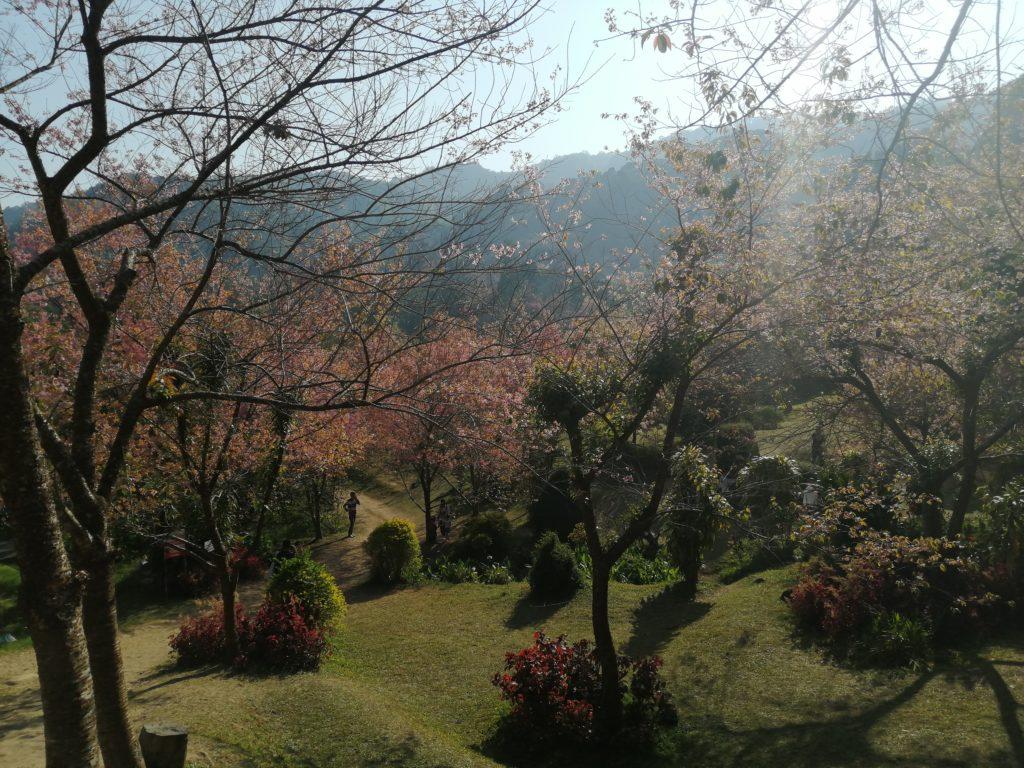 Sakura dans la montagne à Chiang Mai