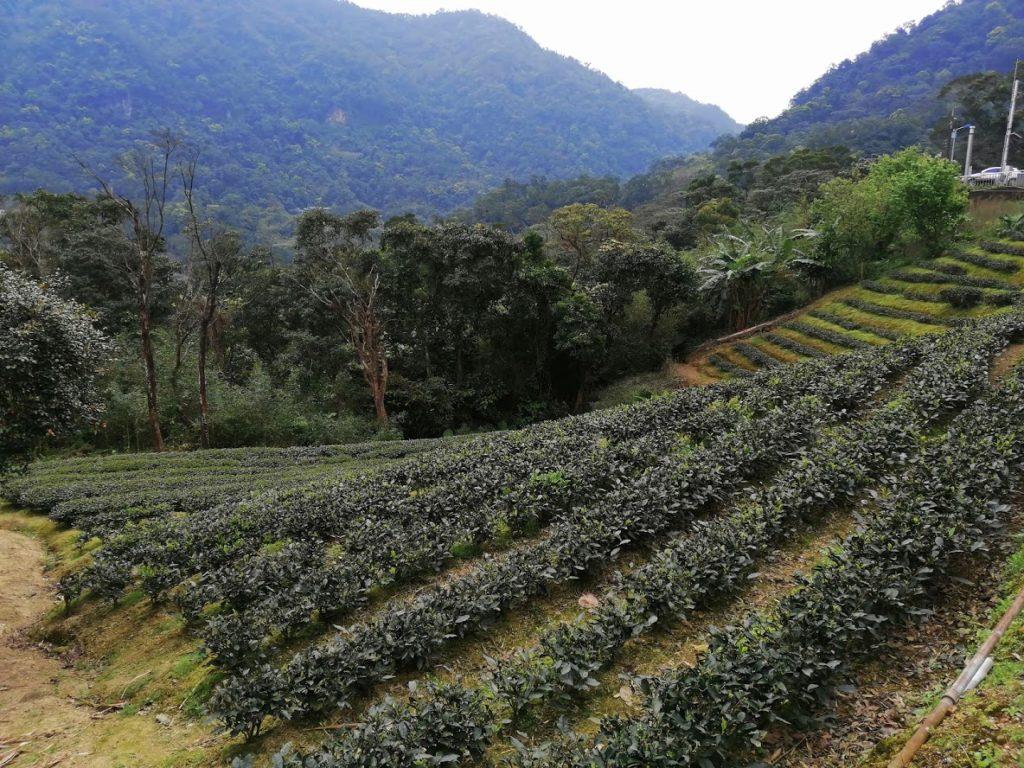 Les champs de thé à Taipei - Taiwan